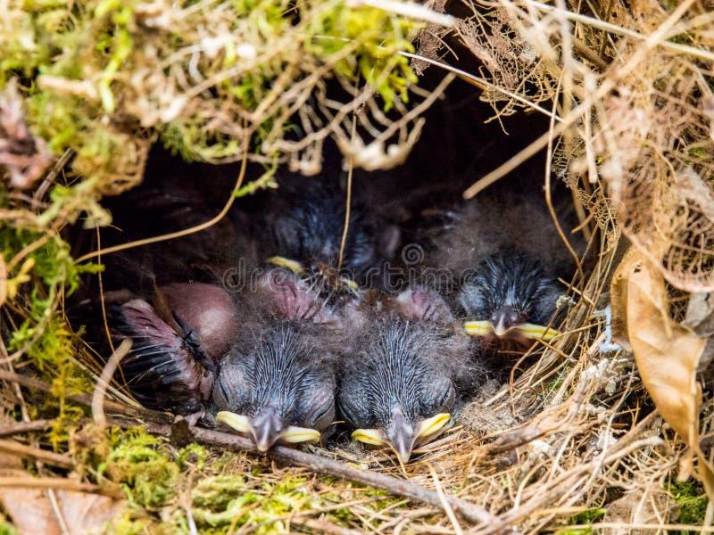 Pájaros de bebé en la jerarquía, el dormir recién nacido de los pájaros imagen de archivo libre de regalías