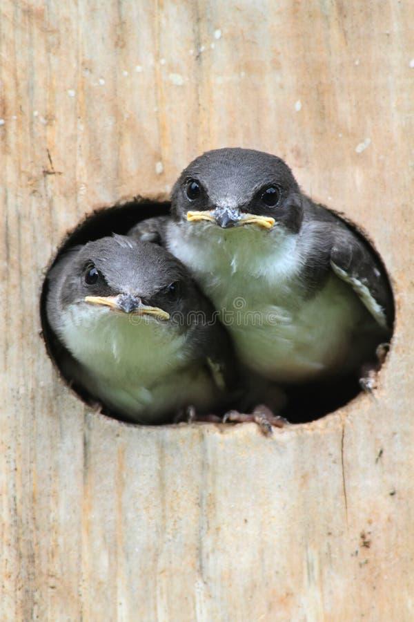 Pájaros de bebé en una casa del pájaro imágenes de archivo libres de regalías