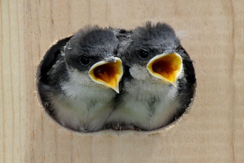 Pájaros de bebé en una casa del pájaro imagen de archivo libre de regalías