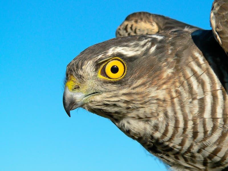 Pájaros de Europa y del mundo - Gorrión-halcón imagen de archivo