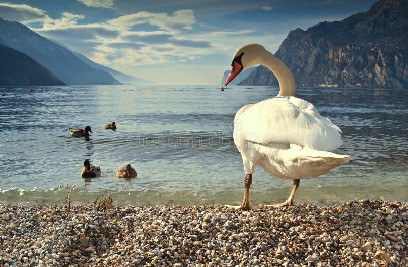 Pájaros de Garda del lago imagen de archivo