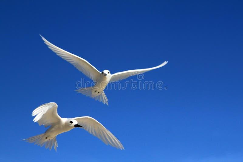 Pájaros de hadas de la golondrina de mar del vuelo imagen de archivo libre de regalías