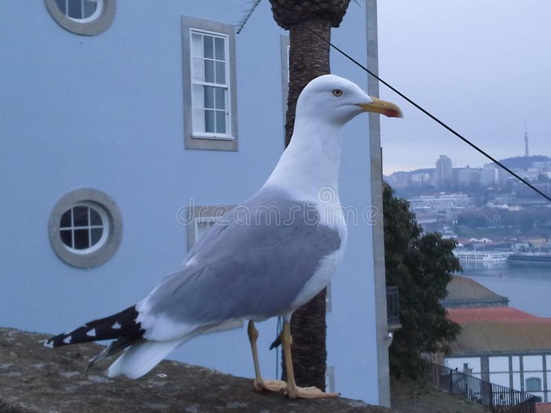 pájaros de la ciudad de Oporto del águila de mar fotos de archivo