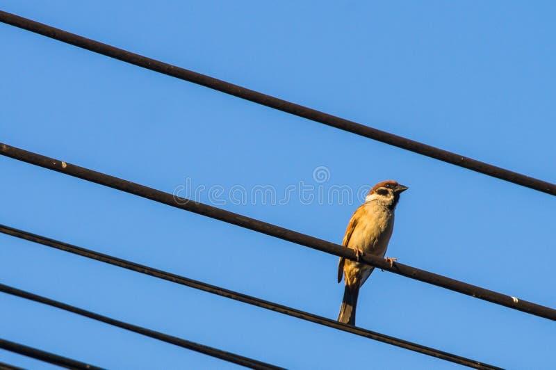 Pájaros de la isla del gorrión en los alambres con el fondo de un cielo imagen de archivo libre de regalías