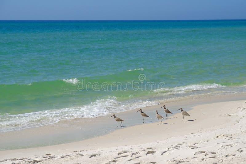 Pájaros de la lavandera en la playa arenosa fotos de archivo