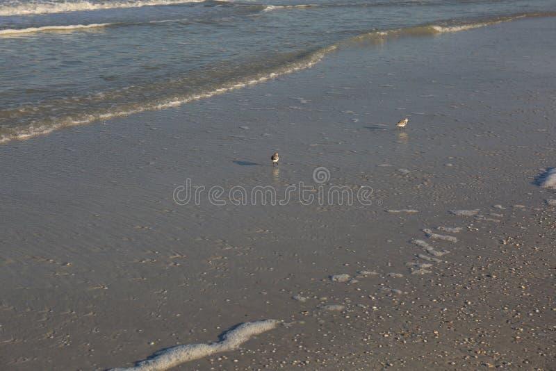 Pájaros de la lavandera que corren con el océano en la costa foto de archivo
