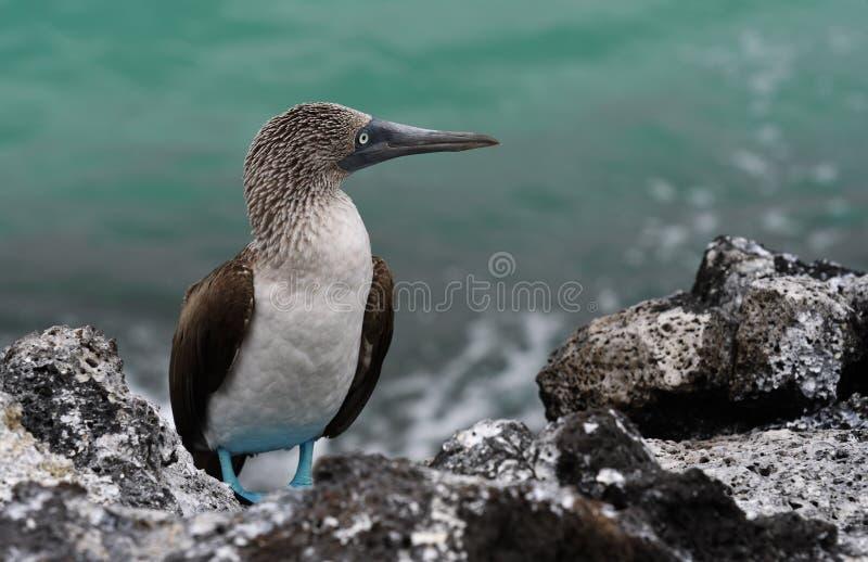 Pájaros 30 de las Islas Galápagos fotografía de archivo