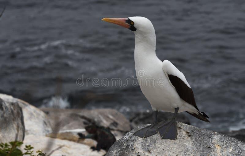 Pájaros 36 de las Islas Galápagos fotografía de archivo libre de regalías