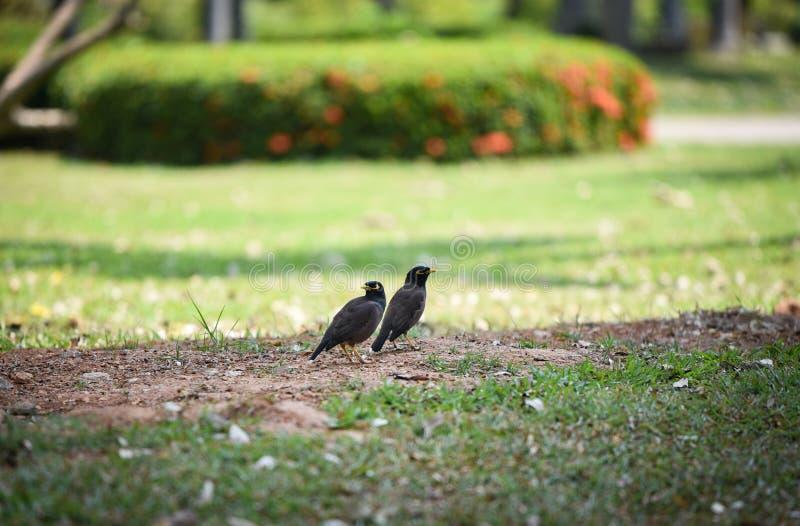 Pájaros de Mynas imagen de archivo libre de regalías