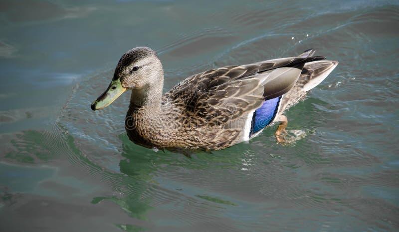 Pájaros de Myrtle Beach imagen de archivo libre de regalías