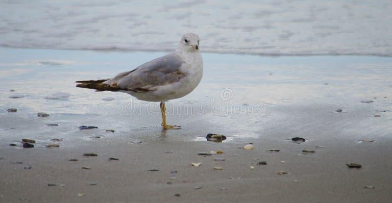 Pájaros de Myrtle Beach foto de archivo libre de regalías