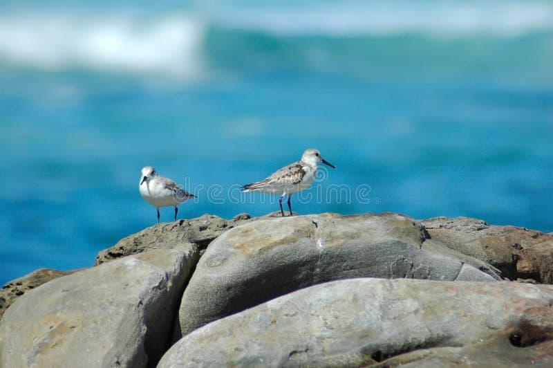Pájaros de pecho blanco del chorlito imagenes de archivo