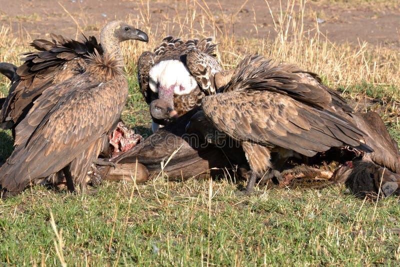 Pájaros de Tanzania imagenes de archivo