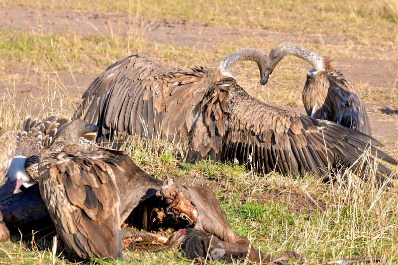 Pájaros de Tanzania fotografía de archivo