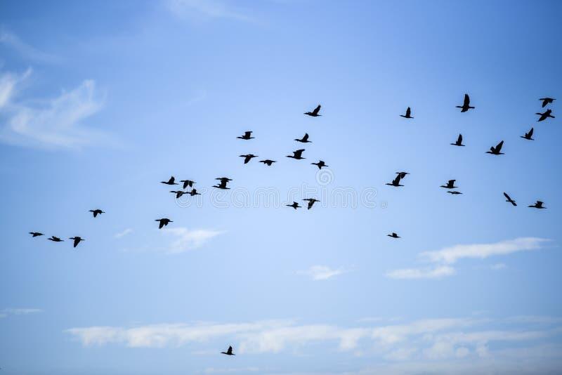 Pájaros de vuelo contra el cielo azul en un día de verano soleado fotos de archivo libres de regalías