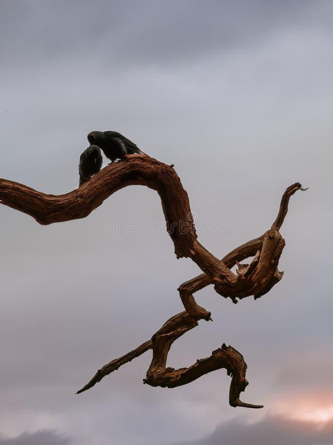 Pájaros del amor de Halloween en el parque fotografía de archivo libre de regalías