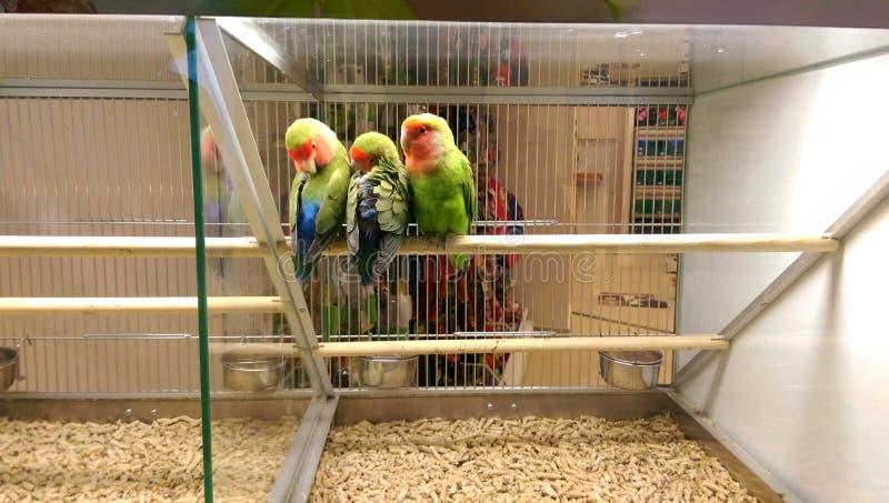 Pájaros del amor en la tienda de animales imagenes de archivo