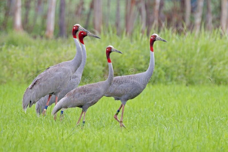 Pájaros del antigone del Grus de la grúa de Sarus en campo de arroz fotografía de archivo
