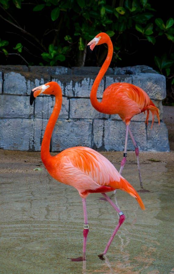 Pájaros del flamenco (Phoenicopterus) imágenes de archivo libres de regalías
