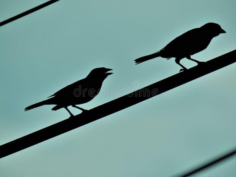Pájaros del gorrión foto de archivo