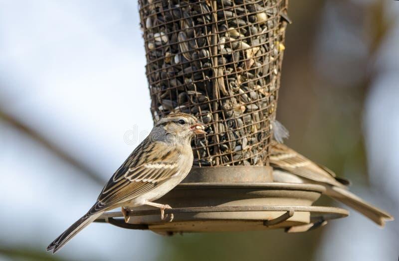 Pájaros del gorrión que salta en el alimentador del pájaro del girasol, Atenas, Georgia, los E.E.U.U. foto de archivo libre de regalías