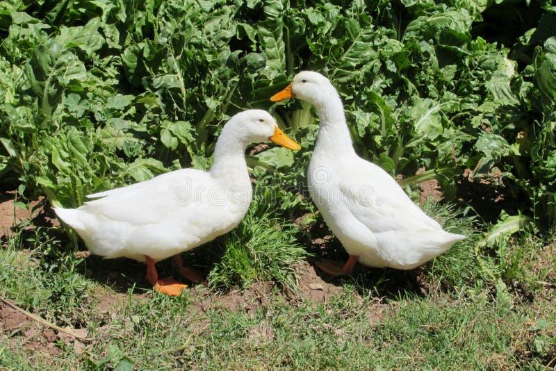 Pájaros del pato imagen de archivo libre de regalías