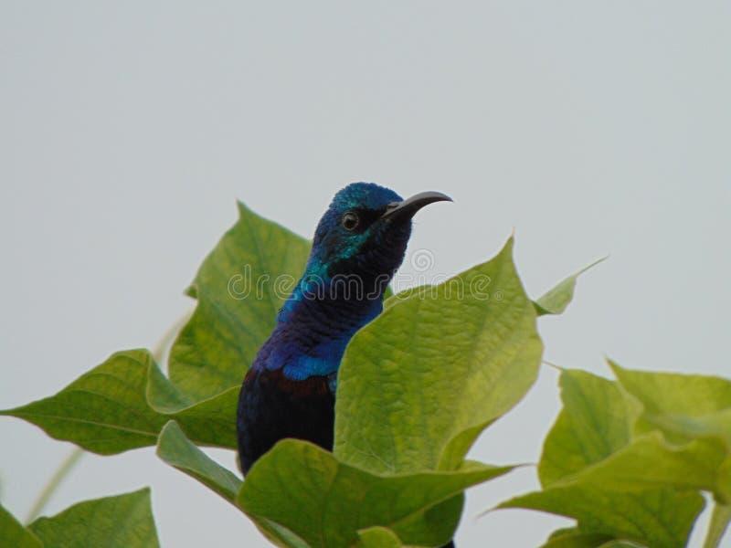 Pájaros del tarareo de azul marino fotografía de archivo