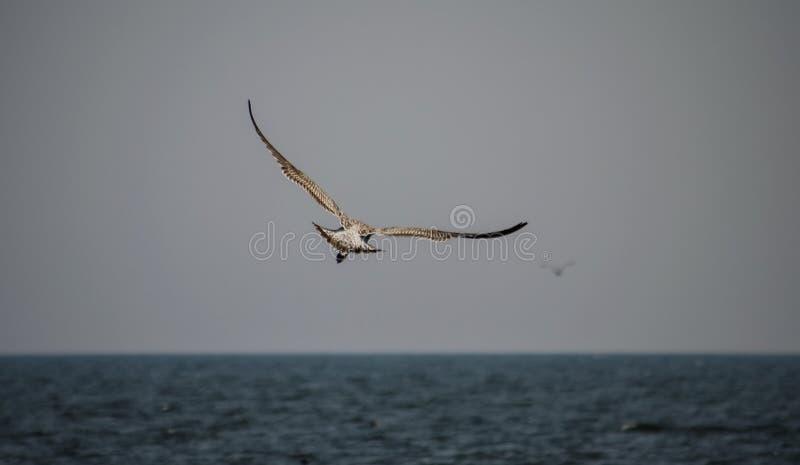Pájaros en bahía de Chesapeake fotografía de archivo libre de regalías