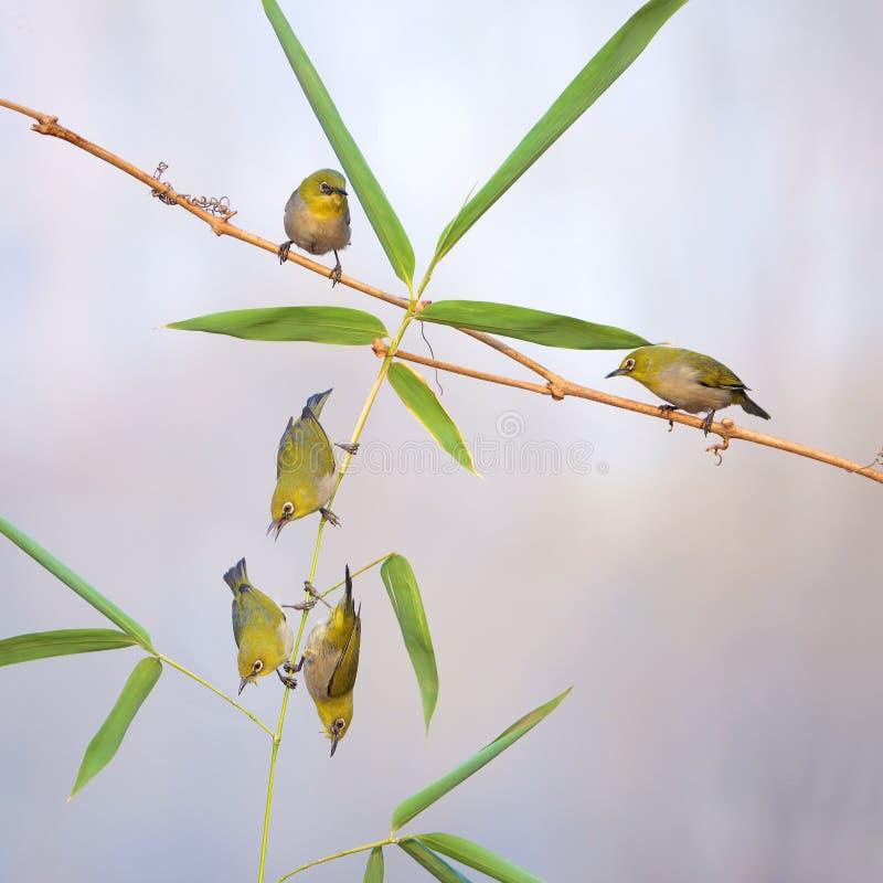 Pájaros en bambú fotos de archivo libres de regalías
