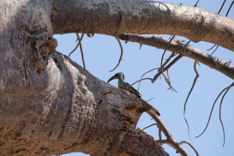 Pájaros en el árbol en el parque nacional del ruaha fotografía de archivo