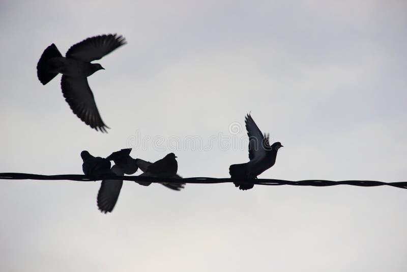 Pájaros en el ambiente urbano del invierno cinco palomas que sientan al grupo en fila en los alambres foto de archivo libre de regalías