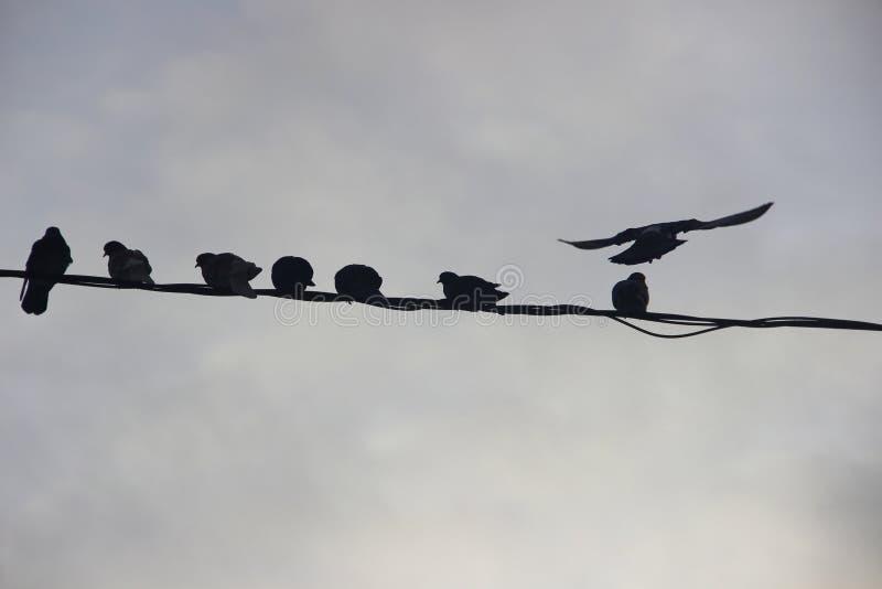 Pájaros en el ambiente urbano del invierno Palomas que sientan al grupo en fila en los alambres fotos de archivo libres de regalías
