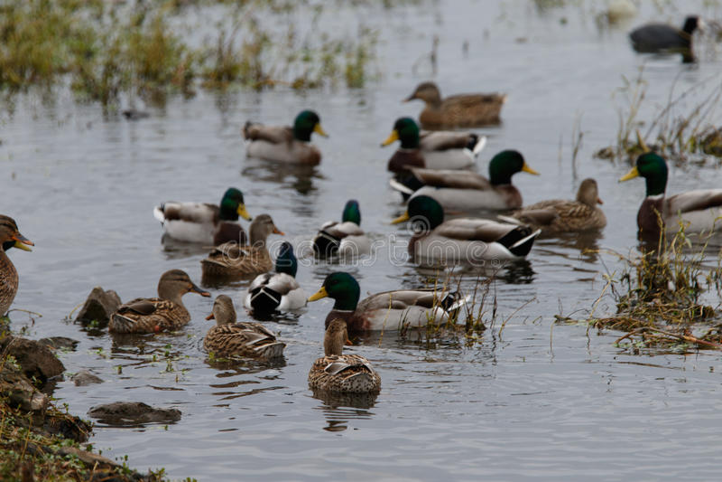 Pájaros en el lago viejo hickory foto de archivo