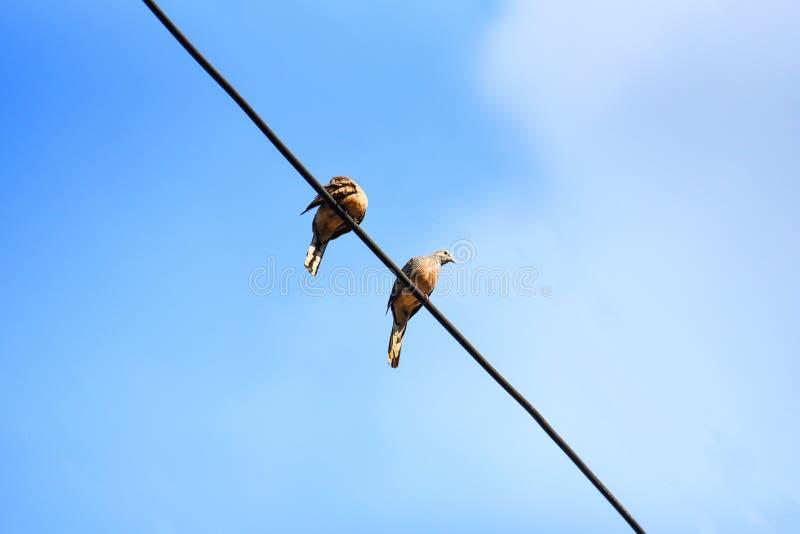 Pájaros en los alambres y el fondo del cielo azul - paloma de la cebra fotografía de archivo