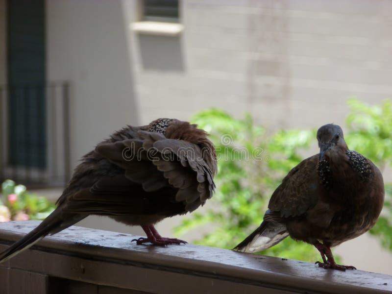 Pájaros en mi lanai Hawaii imagen de archivo libre de regalías