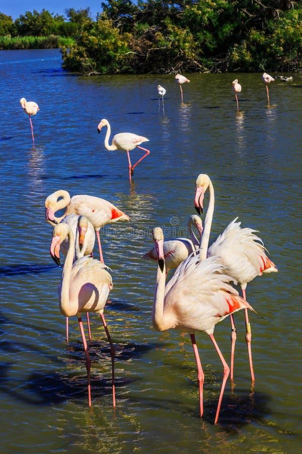 Pájaros exóticos que se colocan en el delta de Rhone foto de archivo