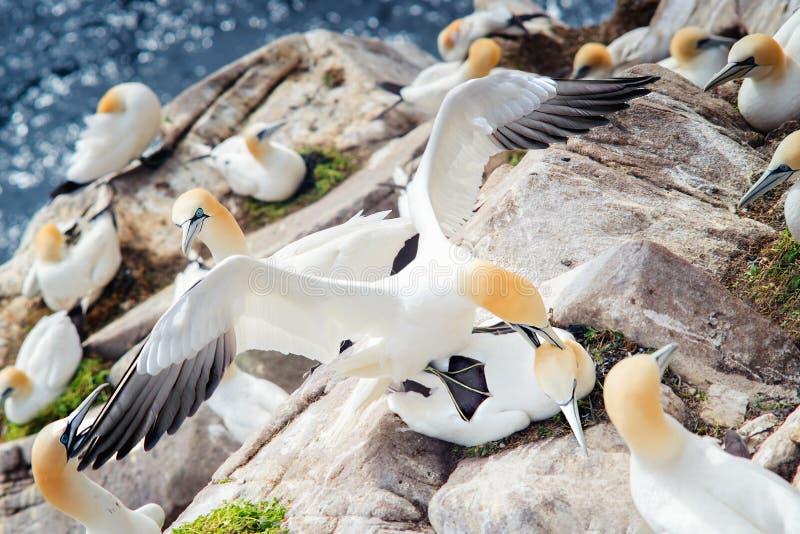 Pájaros Gannets septentrional en rocas en las islas de Saltee fotografía de archivo libre de regalías