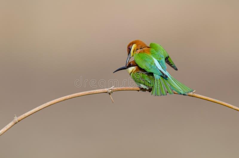 Pájaros gemelos en la rama de bambú imagen de archivo
