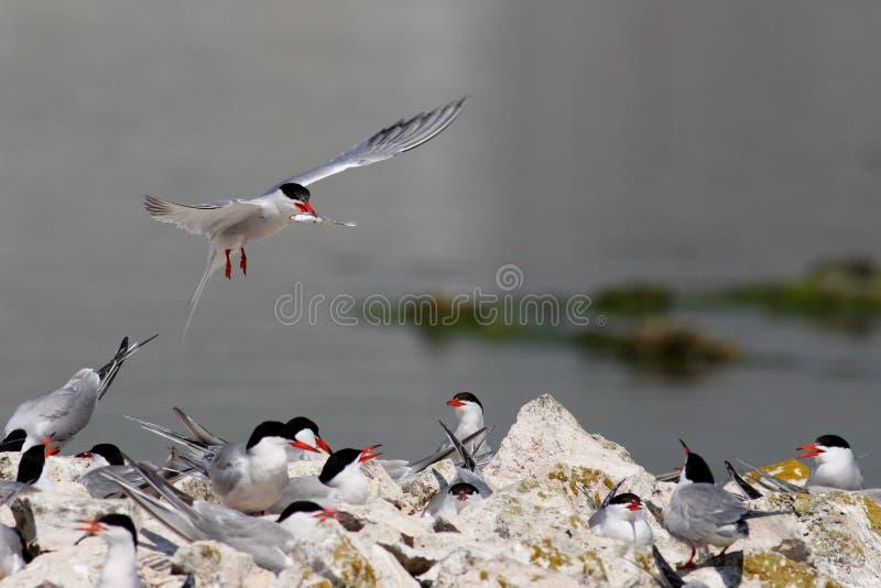 Pájaros golondrina de mar y pescados comunes foto de archivo libre de regalías