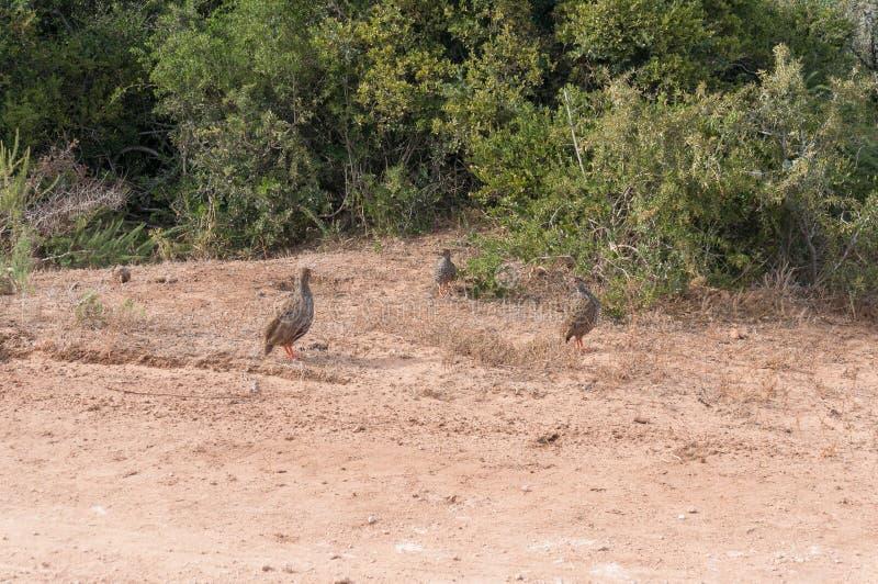 pájaros Gris-cons alas del francolin que forrajean en hábitat natural fotografía de archivo