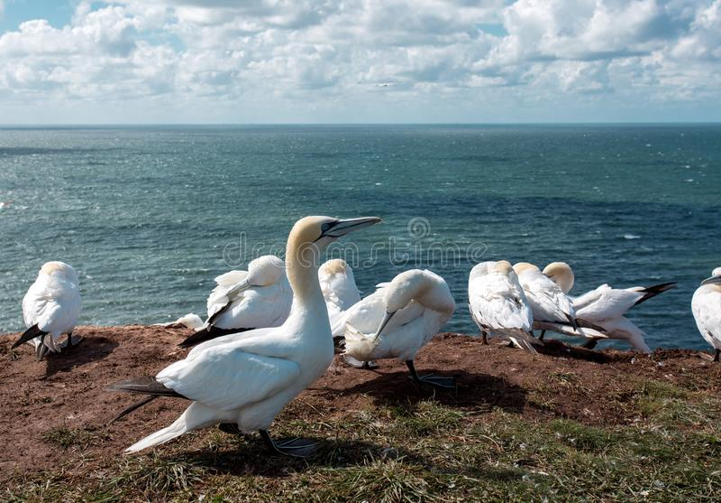 Pájaros Helgoland fotografía de archivo libre de regalías