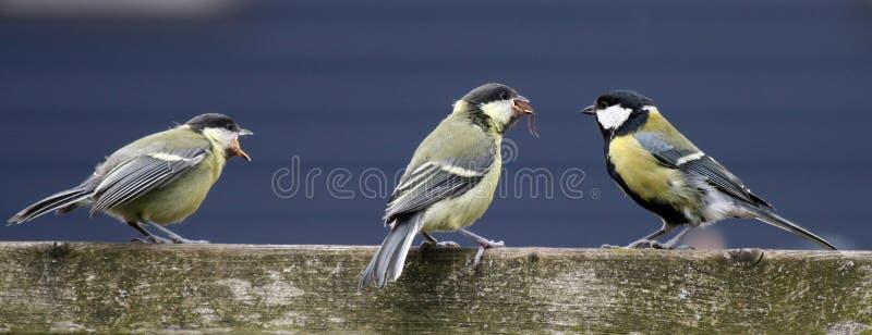 Pájaros jovenes imagen de archivo