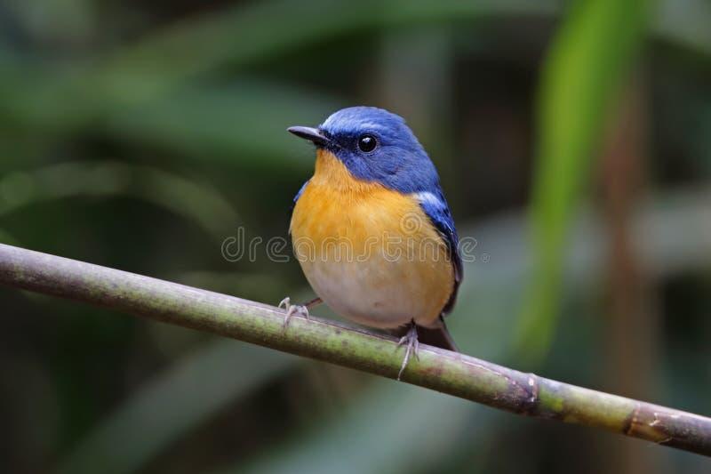 Pájaros lindos masculinos del cazamoscas de la colina de los banyumas azules de Cyornis de Tailandia imagen de archivo