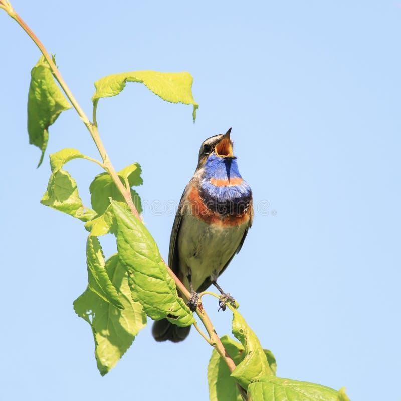 pájaros masculinos del pechiazul con el plumaje brillante, canción del canto en t foto de archivo