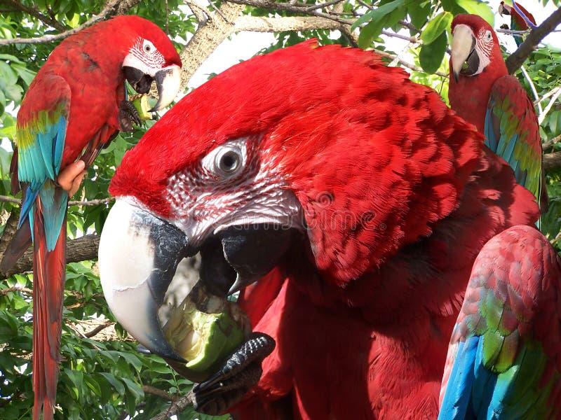 Pájaros muy inteligentes Guacamaya del Macaw fotos de archivo