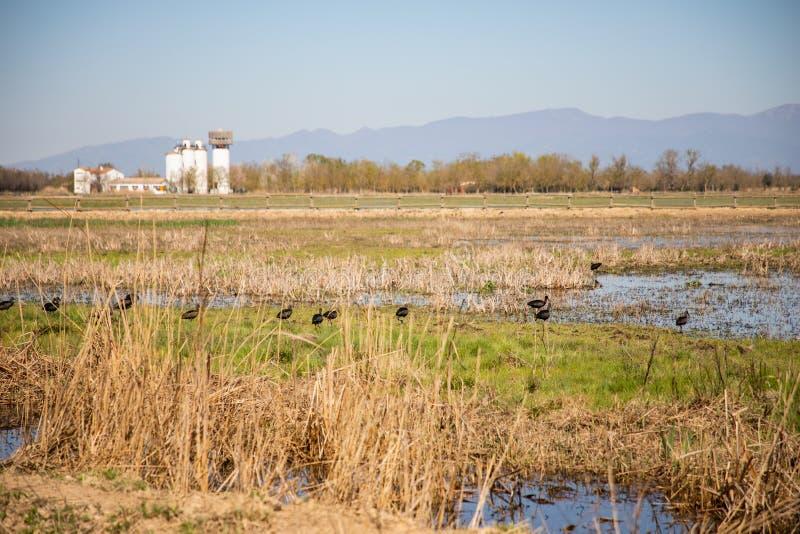Pájaros negros en campo cenagoso con el cielo claro fotos de archivo