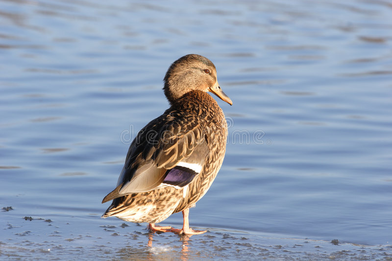 Pájaros, pato imagen de archivo
