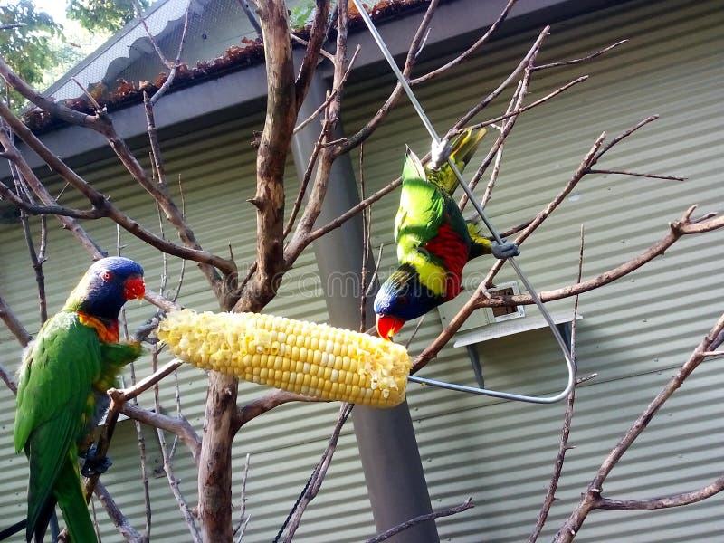 Pájaros que comen maíz en el parque zoológico imagen de archivo