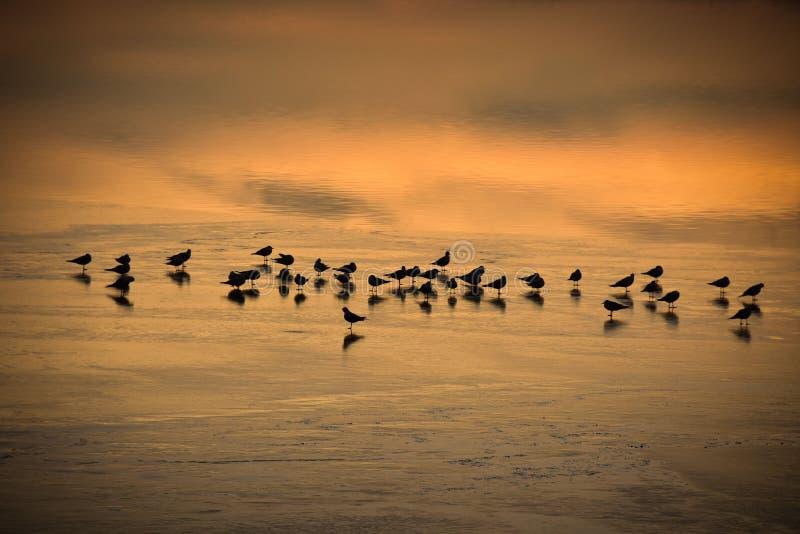 Pájaros que descansan en la Lac congelada de Joux en Suiza en la puesta del sol imagen de archivo