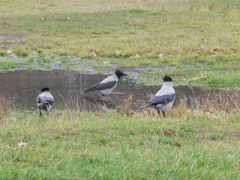 pájaros que los cuervos grises se bañan en un charco imagen de archivo